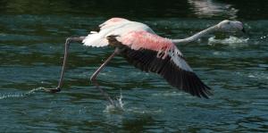 dreamstimefree_1462489-flamingo-taking-off